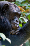 Close-Up of a Chimpanzee (Pan Troglodytes), Kibale National Park, Uganda Stampa fotografica di Green Light Collection