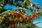 Cherries to Be Harvested, Cucuron, Vaucluse, Provence-Alpes-Cote D'Azur, France Photographic Print by Green Light Collection