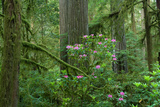 Redwood Trees and Rhododendron Flowers in a Forest, Jedediah Smith Redwoods State Park Photographic Print by Green Light Collection