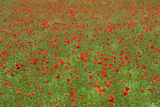 Poppy Field in Bloom, Les Gres, Sault, Vaucluse, Provence-Alpes-Cote D'Azur, France Photographic Print by Green Light Collection
