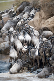 Herd of Wildebeests Crossing a River, Mara River, Masai Mara National Reserve, Kenya Photographic Print by Green Light Collection