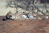 Cheetah (Acinonyx Jubatus) Resting in a Forest, Ndutu, Ngorongoro, Tanzania Photographic Print by Green Light Collection
