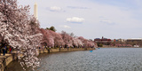 Cherry Blossom Trees in the Tidal Basin with the Washington Monument in the Background Photographic Print by Green Light Collection