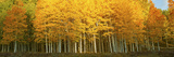 Aspen Trees in Autumn, Last Dollar Road, Telluride, Colorado, USA Photographic Print
