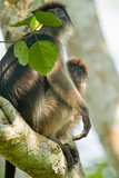 Red Colobus Monkey with its Young One on a Tree, Kibale National Park, Uganda Stampa fotografica di Green Light Collection