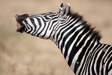 Close-Up of a Burchell's Zebra (Equus Burchelli), Tarangire National Park, Tanzania Photographic Print by Green Light Collection