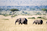 African Elephants (Loxodonta Africana) Walking in Plains, Masai Mara National Reserve, Kenya Photographic Print by Green Light Collection