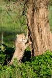 Cheetah Cub (Acinonyx Jubatus) Climbing a Tree, Ndutu, Ngorongoro, Tanzania Photographic Print by Green Light Collection