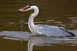 Grey Heron, Kenya Photographic Print by Green Light Collection