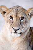 Close-Up of a Lioness (Panthera Leo), Tarangire National Park, Tanzania Fotografie-Druck von Green Light Collection