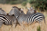 Burchell's Zebras (Equus Burchelli) in a Forest, Tarangire National Park, Tanzania Photographic Print by Green Light Collection