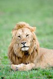 Lion (Panthera Leo) Lying in Grass, Masai Mara National Reserve, Kenya Photographic Print by Green Light Collection