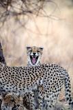 Cheetahs (Acinonyx Jubatus) Resting in a Forest, Samburu National Park, Rift Valley Province, Kenya Photographic Print by Green Light Collection