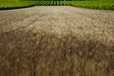 Wheat Field Surrounded by Vineyards, Cucuron, Vaucluse, Provence-Alpes-Cote D'Azur, France Photographic Print by Green Light Collection