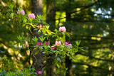 Rhododendron Flowers in a Forest, Del Norte Coast Redwoods State Park, Del Norte County Photographic Print by Green Light Collection