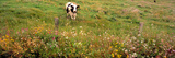 Holstein Cow Northern Ca USA Stampa fotografica