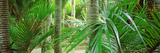 Close-Up of Nikau Palm Trees, Kohaihai River, Oparara Basin Arches, Karamea, South Island Photographic Print