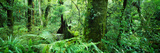Trees in a Forest, Te Urewera National Park, North Island, New Zealand Photographic Print