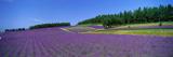 Lavender Field (Nakafurano) Hokkaido Japan Photographic Print