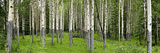 Aspen Trees in a Forest, Banff, Banff National Park, Alberta, Canada Photographic Print