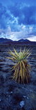 Yucca Flower in Red Rock Canyon National Conservation Area, Las Vegas, Nevada, USA Photographic Print