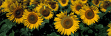 Sunflowers Nd USA Photographic Print