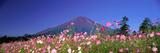 Cosmea Mount. Fuji Oshino Yamanashi Japan Fotografická reprodukce