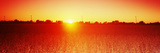 Soybean Field at Sunset, Wood County, Ohio, USA Photographic Print