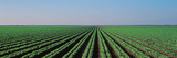 Lettuce Field San Joaquin Valley Fresno Ca USA Photographic Print