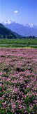 Lotus Flowers Nagano Japan Photographic Print