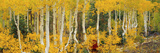 Aspen Trees in Autumn, Dixie National Forest, Utah, USA Lámina fotográfica