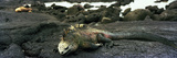 Marine Iguana Galapagos Islands Photographic Print
