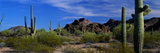 Saguaro Cactus Sonoran Desert Scene Saguaro National Park Arizona USA Photographic Print