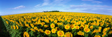Field of Sunflowers Kansas USA Fotografie-Druck