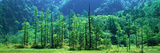 Forest Trees, (Kamikouchi,) Nagano, Japan Photographic Print