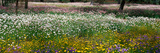 Field of Flowers Kings Park Perth Australia Photographic Print