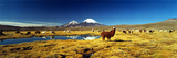 Alpaca (Lama Pacos) and Llama (Lama Glama) Grazing in the Field, Lauca National Park Lámina fotográfica