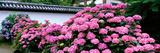 Hydrangeas Yada Temple (Yamatokoriyama) Nara Japan Photographic Print