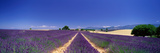 Lavender Field Provence France Photographic Print