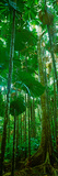 Fan Palm Trees in a Forest, Daintree National Park, Queensland, Australia Fotografisk tryk
