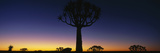 Africa, Namibia, Kokerboom Preserve, Quiver Tree Photographic Print