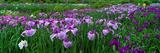Iris Garden Nara Japan Photographic Print