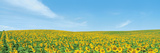 Field of Sunflower with Blue Sky Photographic Print
