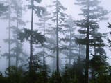 Silhouette of Trees with Fog in the Forest, Douglas Fir, Hemlock Tree, Olympic Mountains Photographic Print