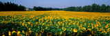 Sunflowers St Remy De Provence Provence France Photographic Print