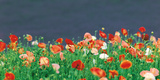 Red Poppies Fotografická reprodukce