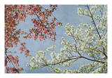 Dogwood Giclee Print by Donna Geissler
