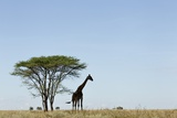 Giraffe Herd Photographic Print