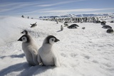 Emperor Penguin Chicks in Antarctica Papier Photo