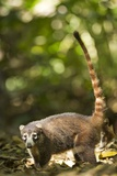 Coati, Costa Rica Photographic Print